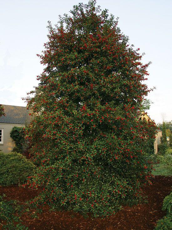 Christmas Holly Tree.Pin On Garden