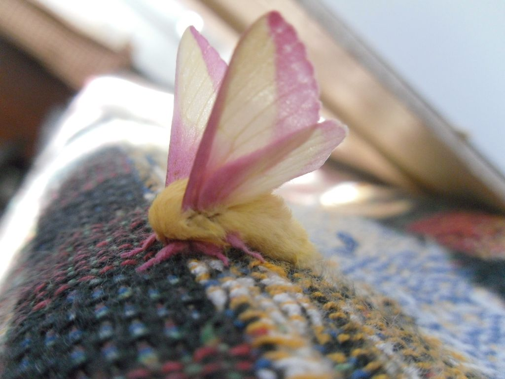 A Change In Circumstance Rosy Maple Moth Moth Insect Photography