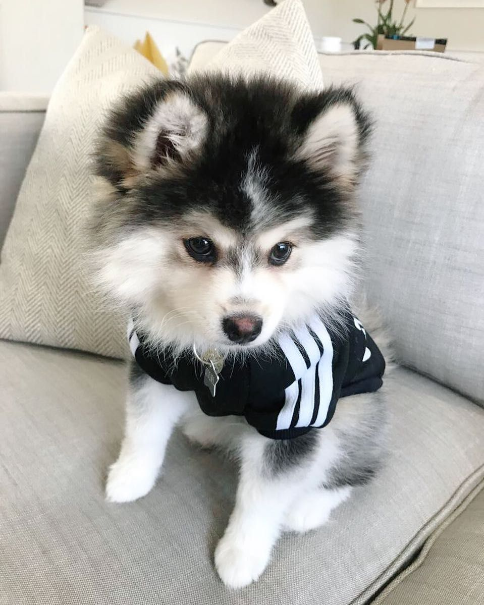 Everything You Want To Know About Pomsky Husky Pomeranian Including Grooming Training Health Problems Histor In 2020 Pomsky Dog Pomsky Puppies Cute Little Animals