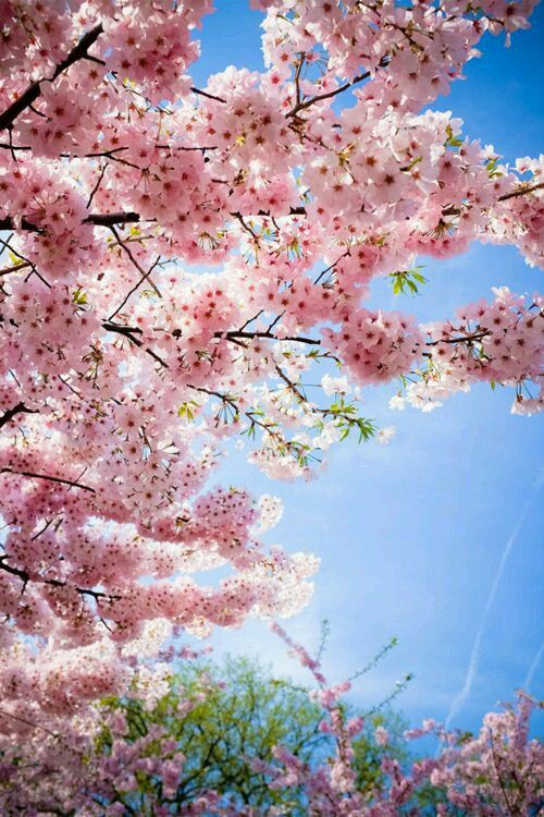 Cherry Blossom Photography The Most Beautiful And Romantic Japanese Cherry Blossom Tree Photos To See Blossom Trees Cherry Blossom Wallpaper Sakura Tree