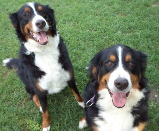 Bordernese Dogs The Bordernese Is Not A Purebred Dog It Is A