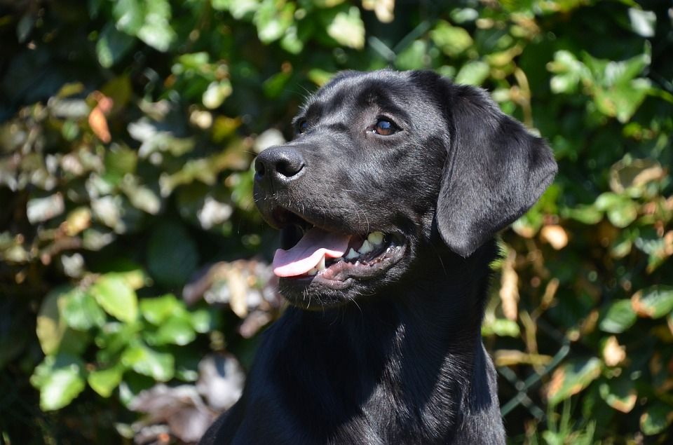 Labrador Retriever Dog Price Buy Kci Registered Labrador Retriever Puppies For Sale In India Get Healthy And Pur With Images Labrador Retriever Puppies Dog Care