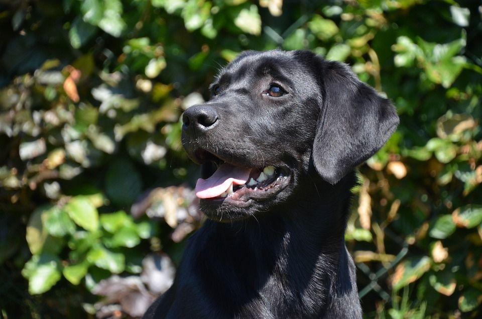 Labrador Retriever Puppies For Sale Labrador Retriever Labrador Dog Labrador Retriever Puppies