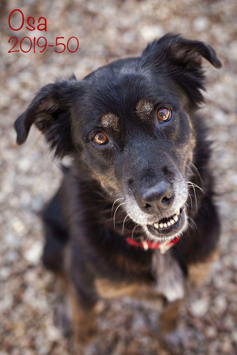 Adopt Osa On Petfinder Dog Adoption Australian Shepherd Dogs Dogs