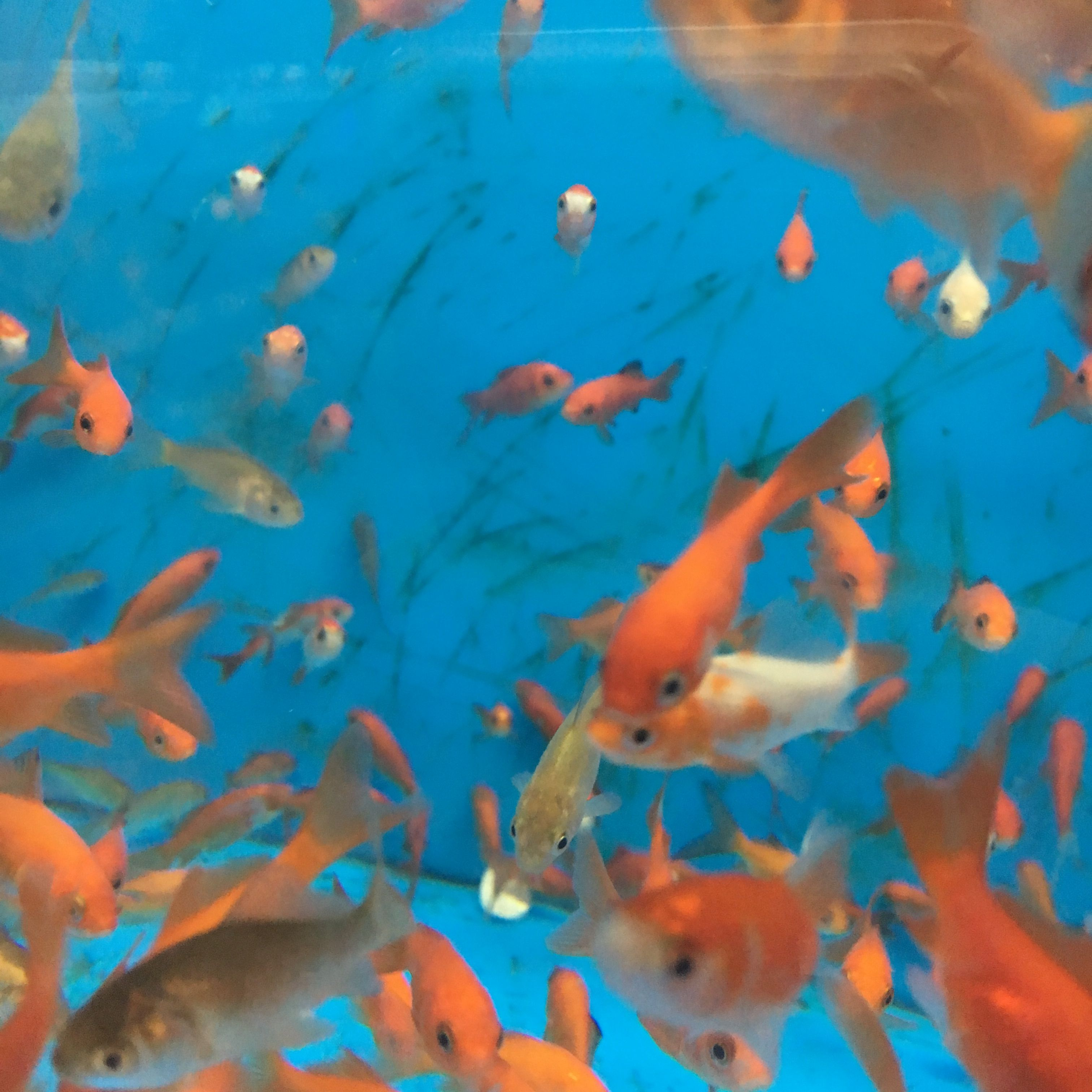 Aesthetic Fish Goldfish Pictures Water Aesthetic