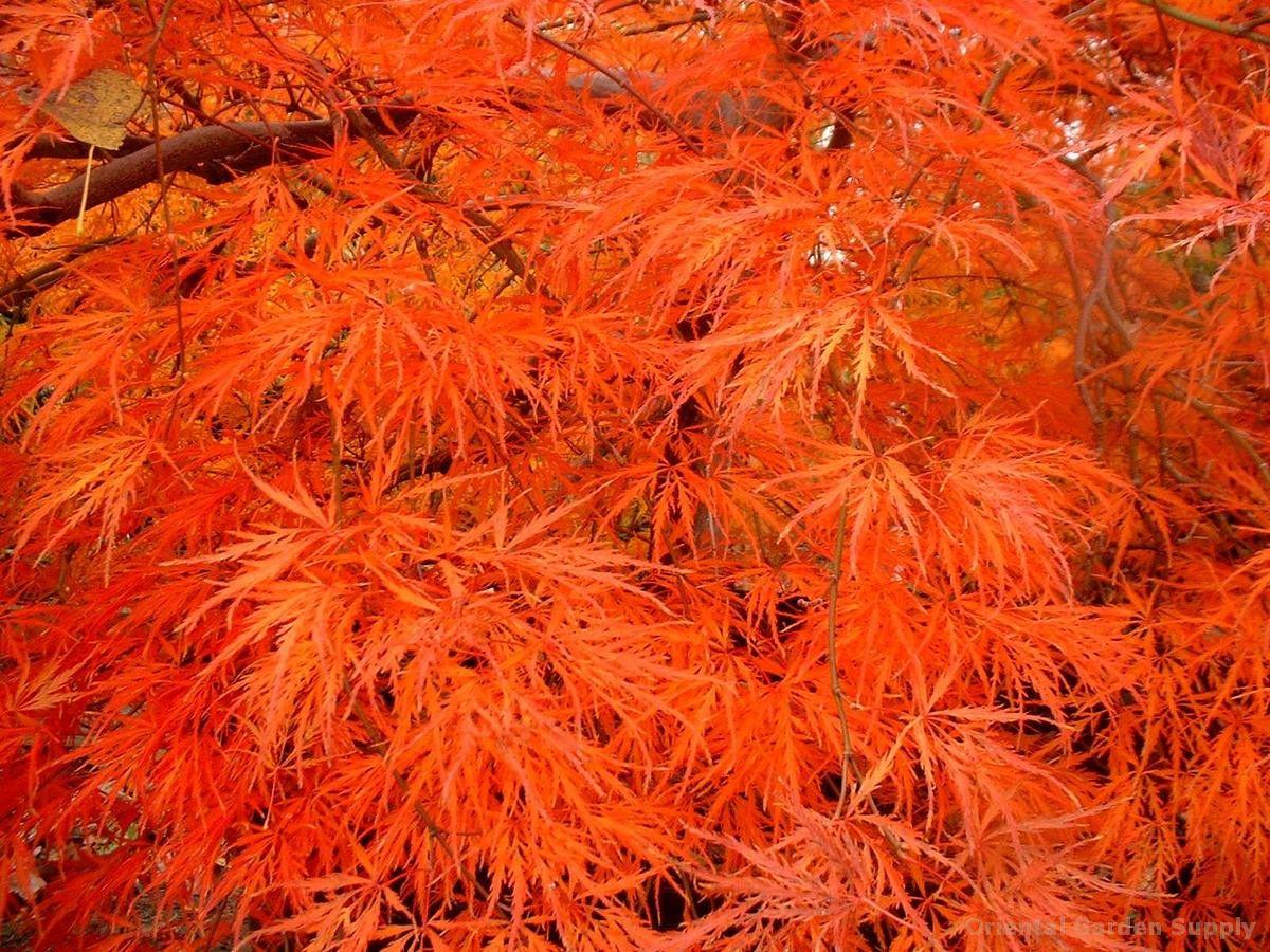acer palmatum dissectum 39 atropurpureum 39 japanese maples. Black Bedroom Furniture Sets. Home Design Ideas