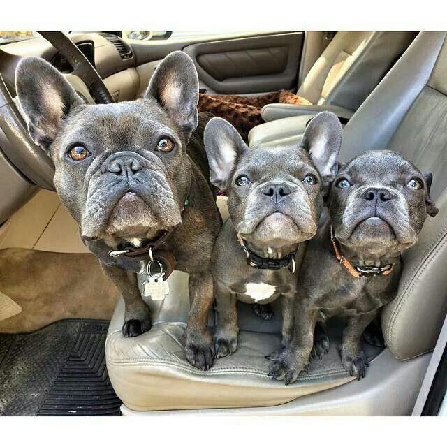 Sublime Trio Blue French Bulldogs Bulldog French Bulldog