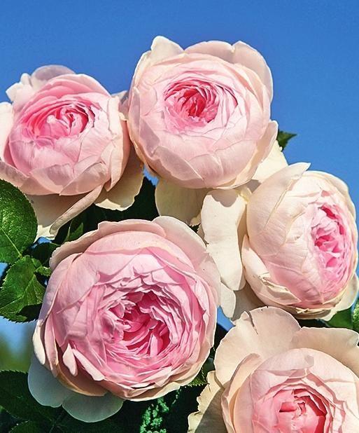 Роза Herzogin Christiana | Укоренение роз, Розы, Красивые розы