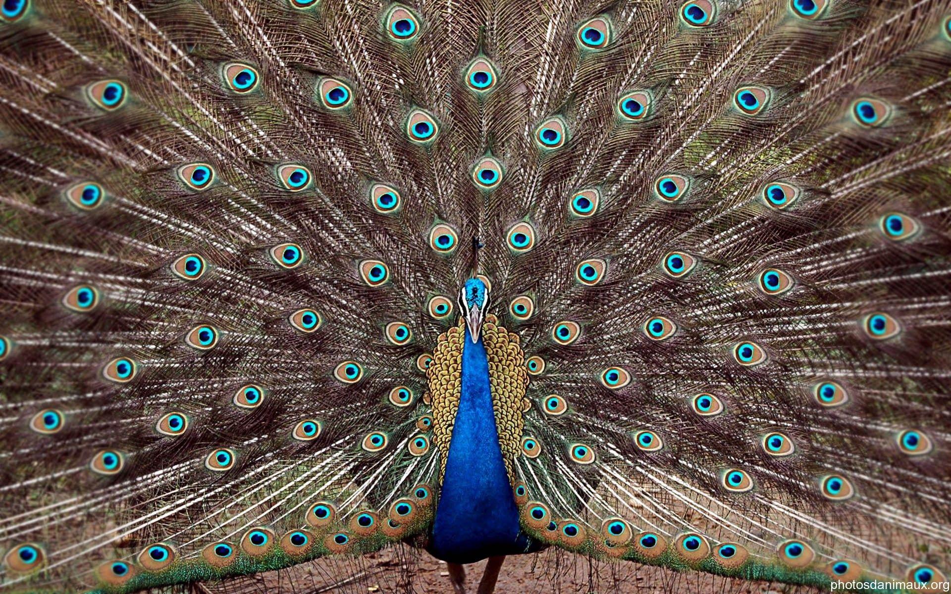 Le Paon Qui Fait La Roue magnifique paon qui fait la roue♡♥♡   peacock photos
