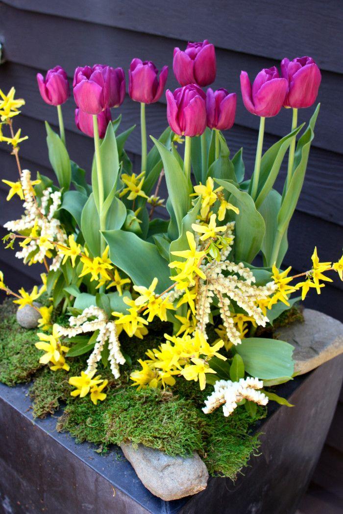 Spring container planter tuplis and forsythia rochelle greayer www.pithandvigor.com