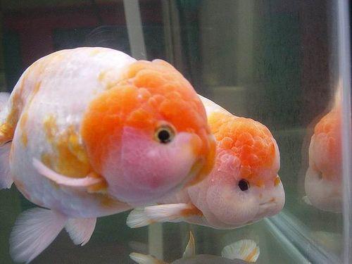 Sakura Cherry Blossom Ranchu Goldfish Aquarium Fish Tank Plants Goldfish