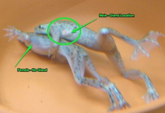 African Dwarf Frogs Differences We Have 6 In Our Freshwater 25