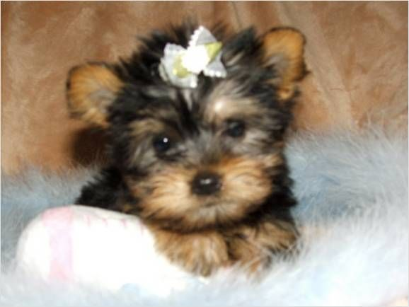 Yorkie Teacup Yorkie Puppy Yorkie Puppy Puppy Adoption