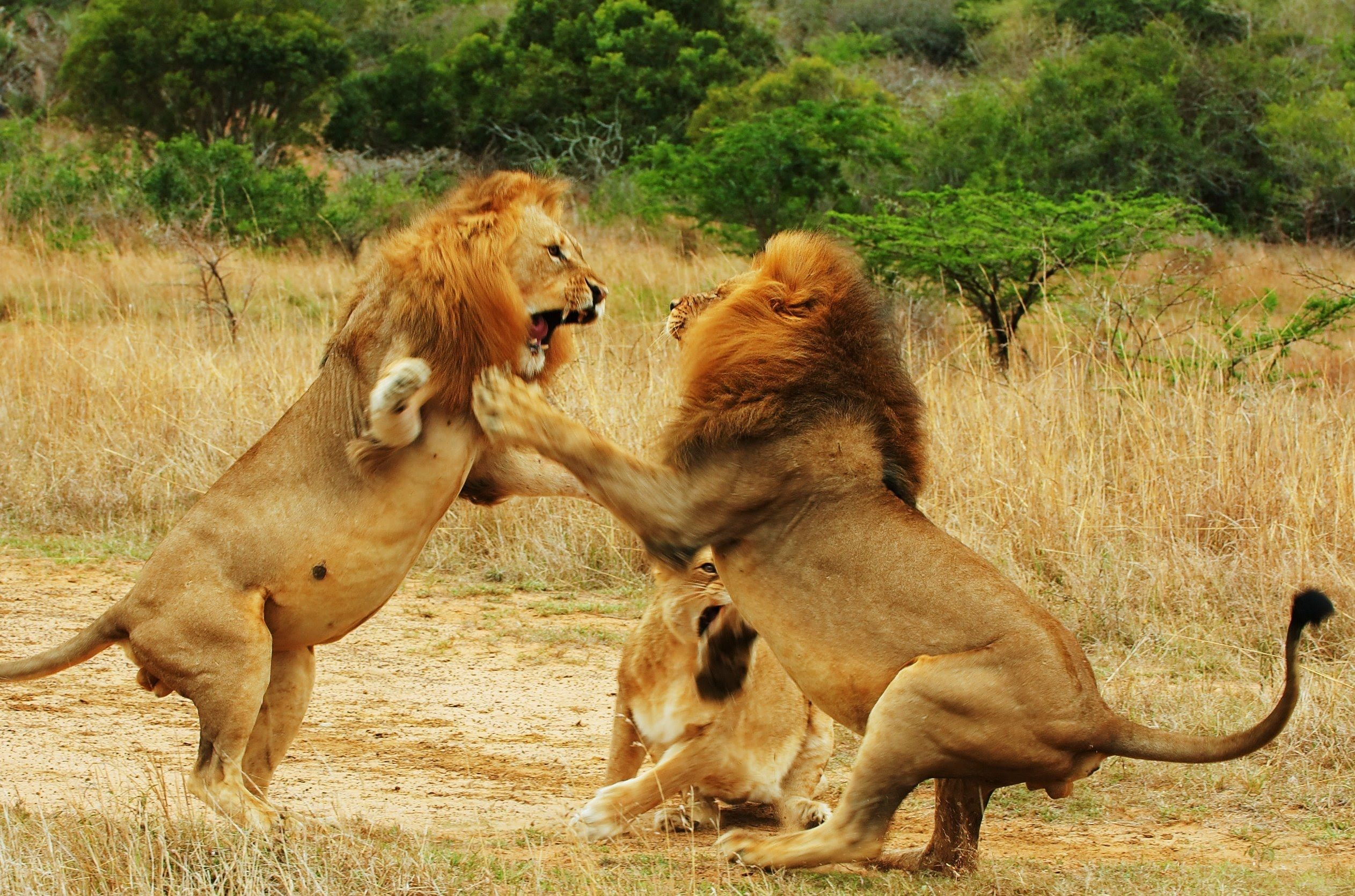 Lion Documentary 2015 | Animals Documentary National Geographic - Lions .
