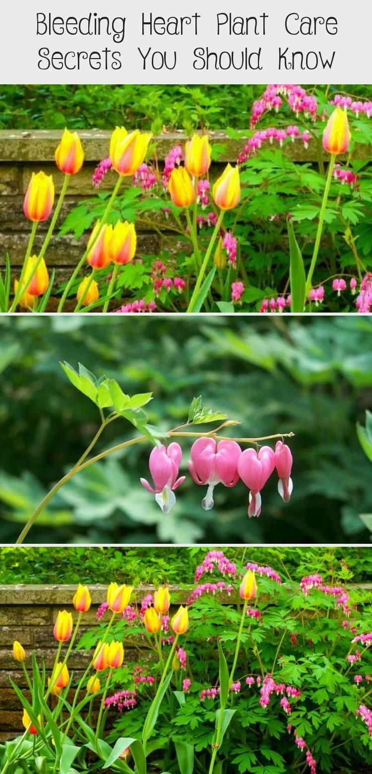 Bleeding Heart Plant Care Secrets You Should Know in 2020