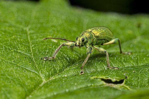 Free Image on Pixabay - Nettle Weevil, Phyllobius