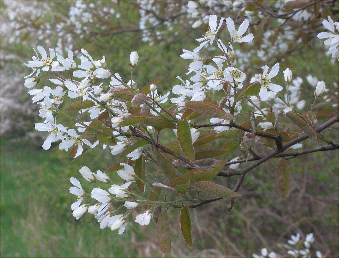 Amalanchier Small Tree Or Shrub Delicate White Flowers In May