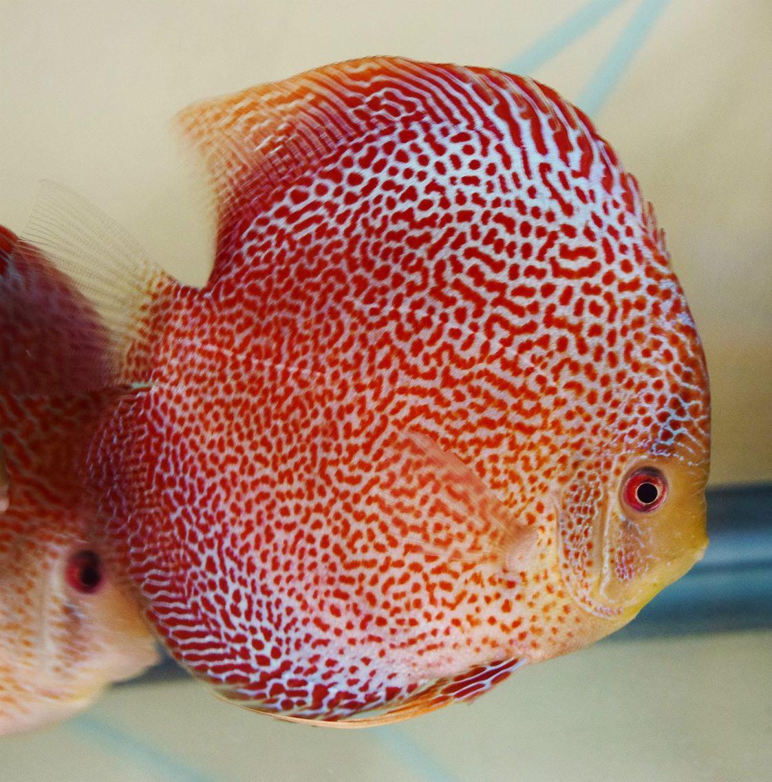 Fine Line Leopard Snakeskin Goh Eng Khoon Spirits Of The Amazon Discus Fish Freshwater Aquarium Fish Beautiful Fish