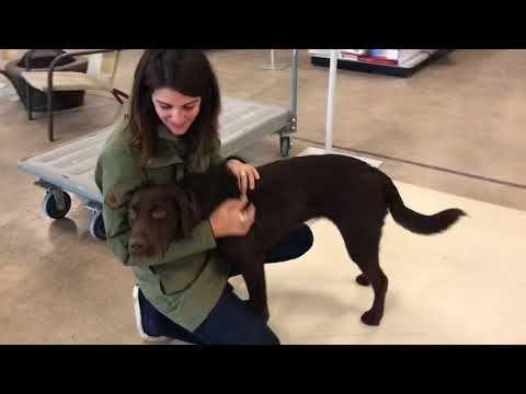 Labrador Training Labrador Retriever Puppies Rochester Ny Emma