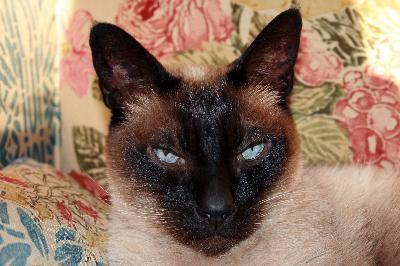 Siamese Cat Behavior  Siamese Cat Behavior