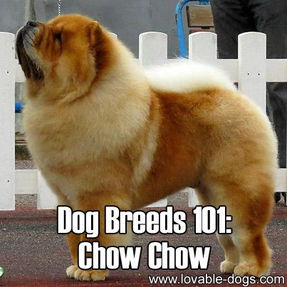 Dog Breeds 101 Chow Chow Animals Love Group Board Dog Breeds