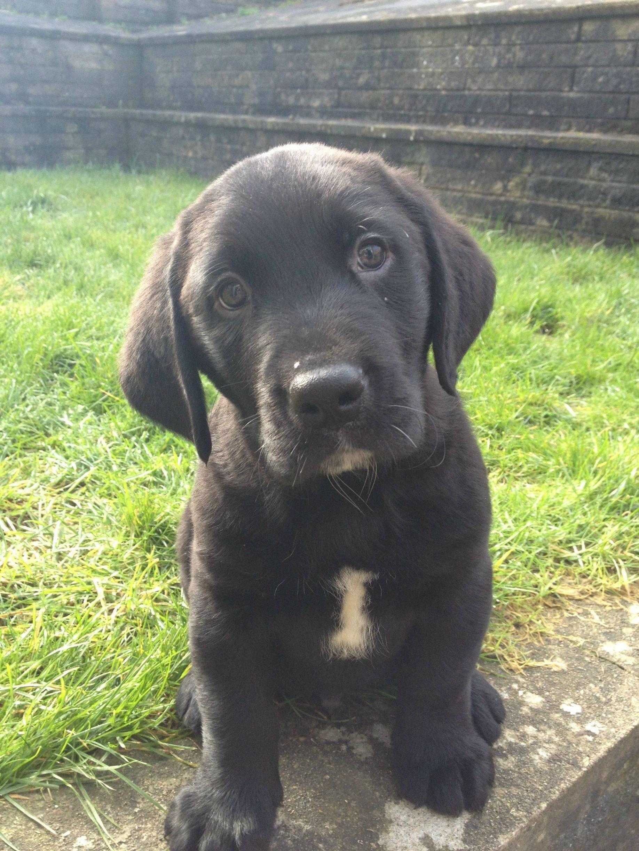 Bernese Mountain Dog Labrador Mix Interesting Cross Baby