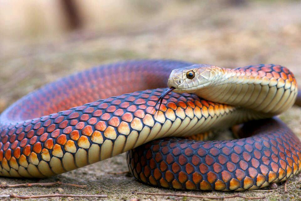 Pin by Melissa Stebbins on Reptiles Serpent snake