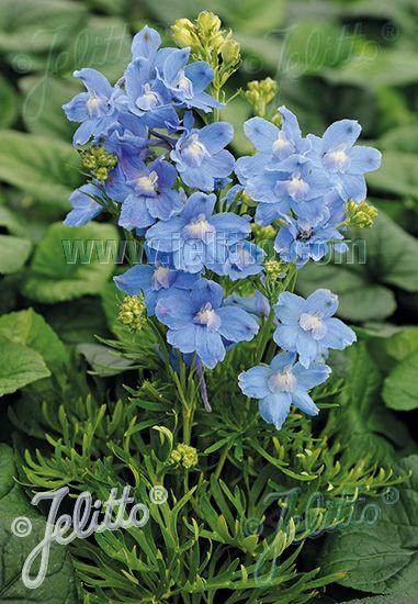 Jelitto Perennial Seed Delphinium Grandiflorum Summer Series