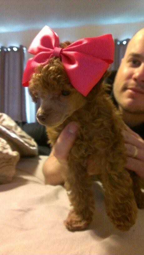 My Toy Poodle Dallas