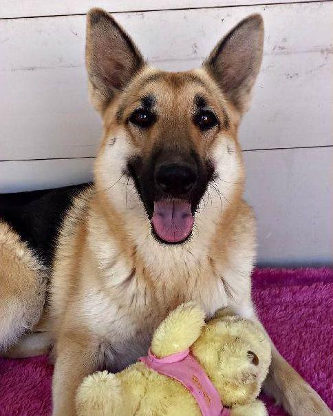 Pin By Doggielife Com On Www Doggielife Com German Shepherd Dogs