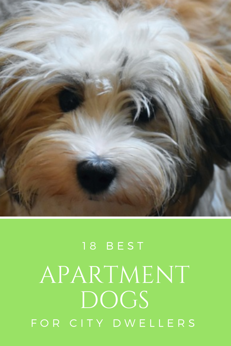 You May Be Wondering What The Best Apartment Dogs Are To Own In This Post We Go Over The Best Apartment Dogs Apartment Dogs Best Apartment Dogs Dog Training