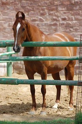 mawari horse from india: ears are supposed to be like this