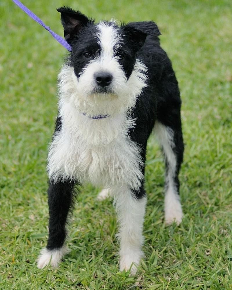 Adopt Indiana Bones On Shepherd Mix Dog Pet Adoption Lake Jackson