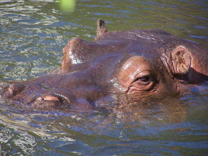 Basler Zoo, Flusspferd