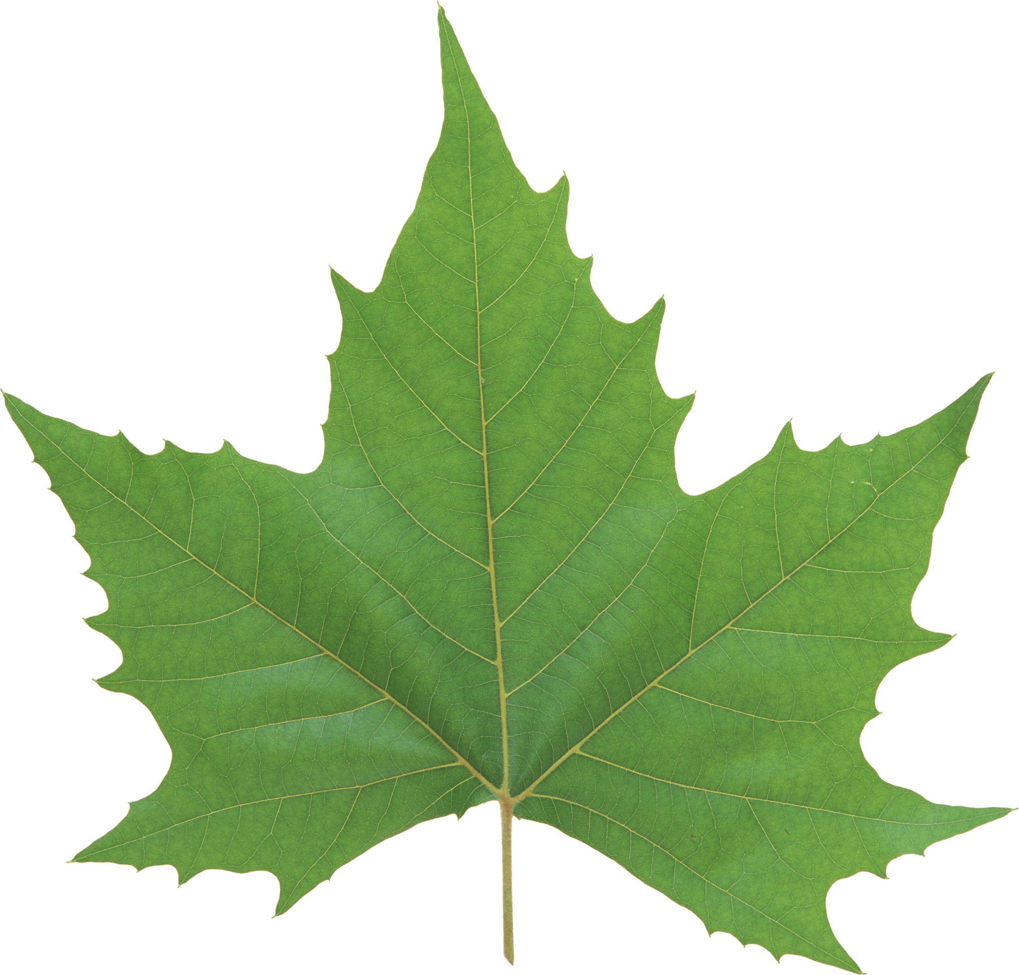 Green Leaves Png Image Leaves Green Leaves Leaves Vector