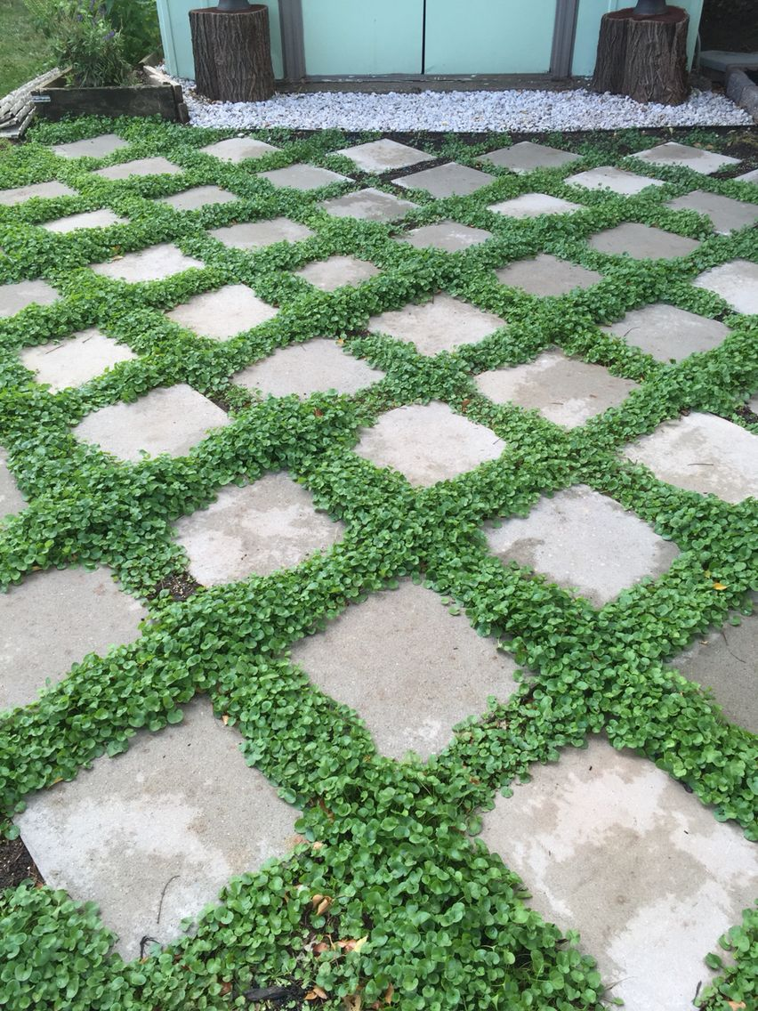 How to plant ground cover between pavers - Low Maintenance Ground Cover Dichondra Seeds Between Pavers Purchased The Heavy 16x16 Pavers