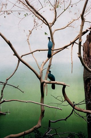 Blue birds in the trees. No info on this - I'm guessing Inida. Love the image.