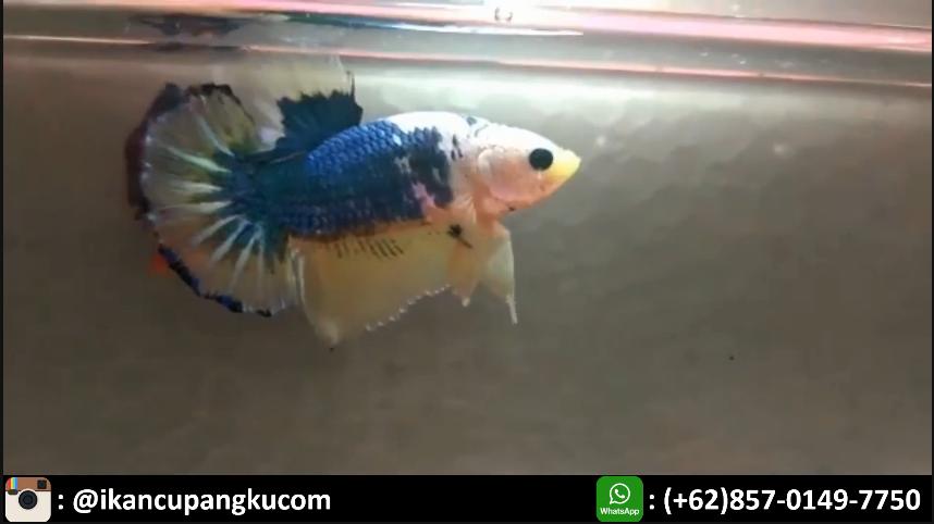 Harga Indukan Ikan Cupang Koi Ikan Ikan Cupang Koi