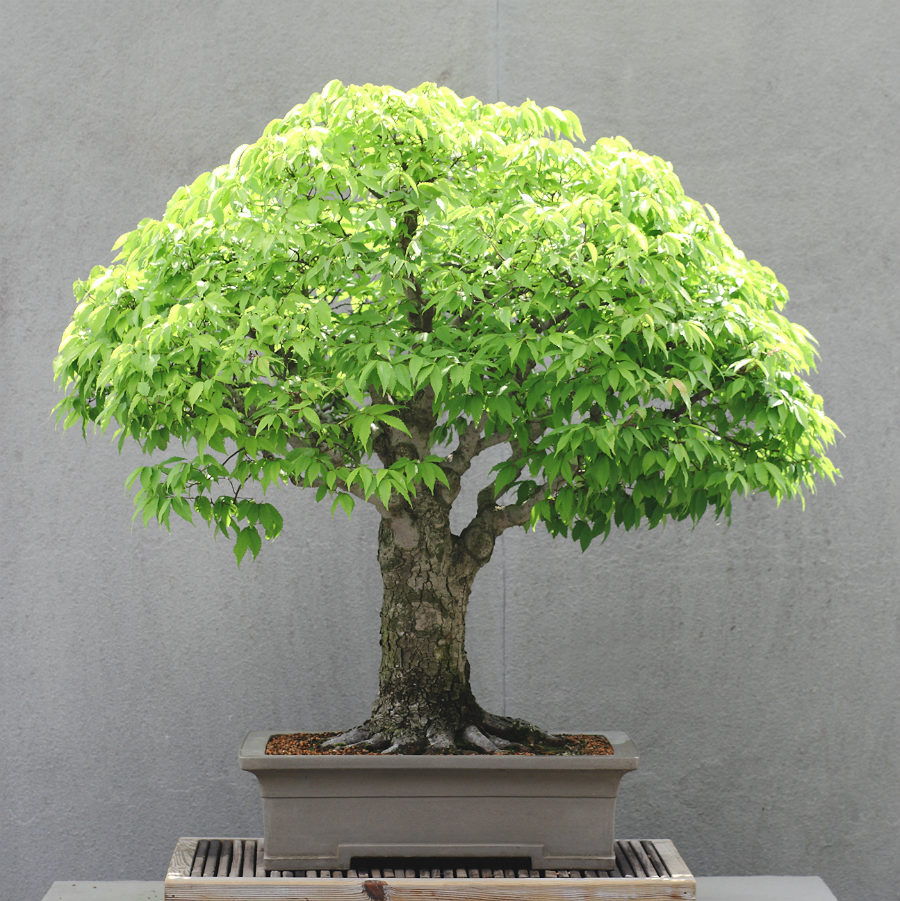 1000 Images About Bonsai Trees On Pinterest