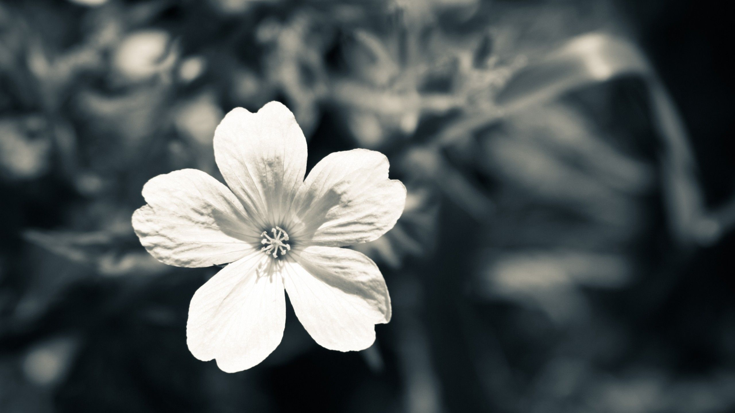 macro, monochrome, flowers, nature, wallpaper