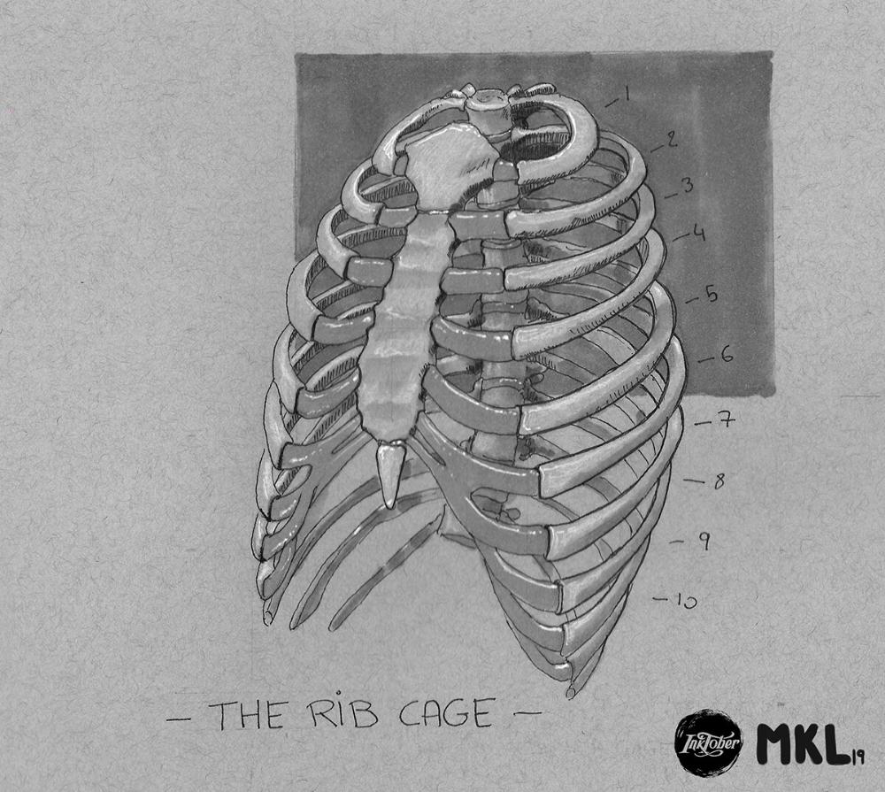 Artstation Anatom Inktober Day 3 The Rib Cage Mikael Lavandier Nose Drawing Rib Cage Sketch Book