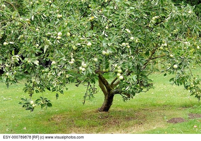 A Granny Smith Le Tree In An Orchard