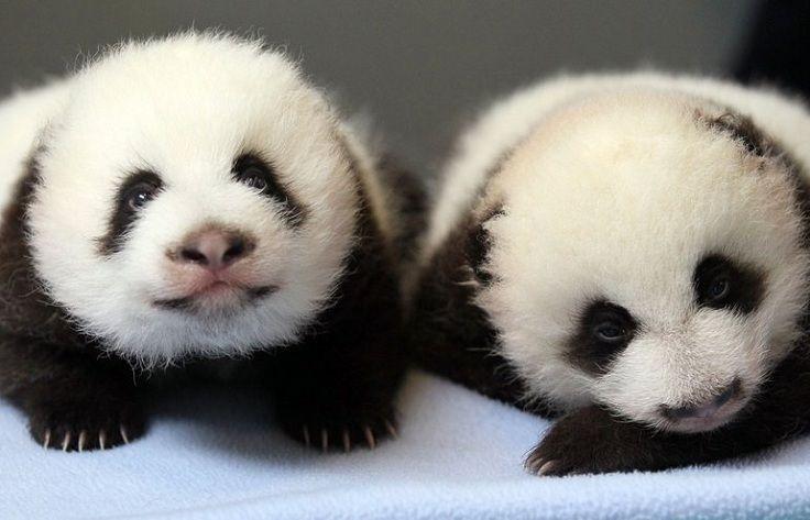 TOP 10 Cutest Baby Pandas Pictures Ever Taken | Panda ...