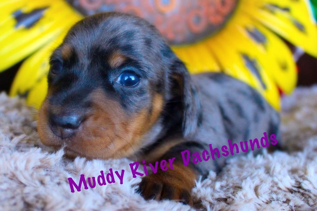 Muddy River Dachshunds Puppies For Sale Dachshund Puppy