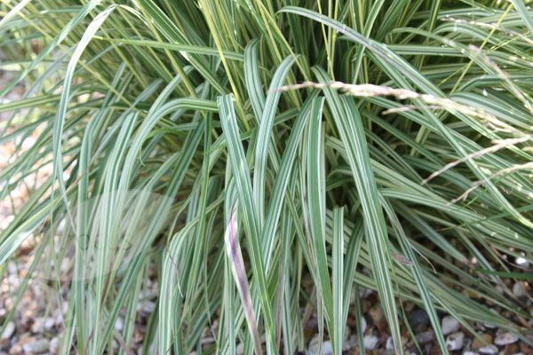 Variegated purple moor grass molinia caerulea subsp for Variegated ornamental grass