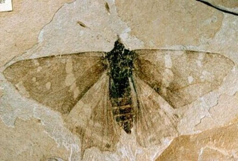 Butterfly fossil, Florissant Fossil Beds National Monument, Colorado.  Amazing