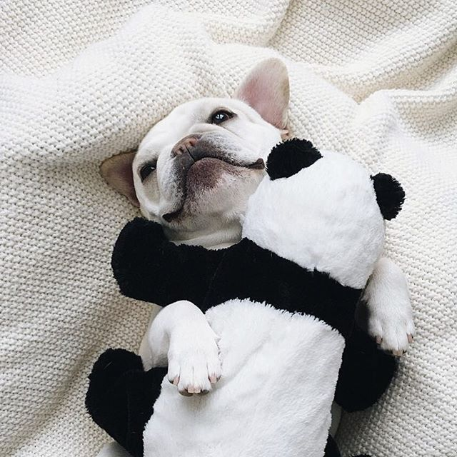 """Panda, we gotta talk.....it's not you, it's me...I'm feeling smothered"", Polly is a Funny French Bulldog with commitment issues, #piggyandpolly on Instagram"