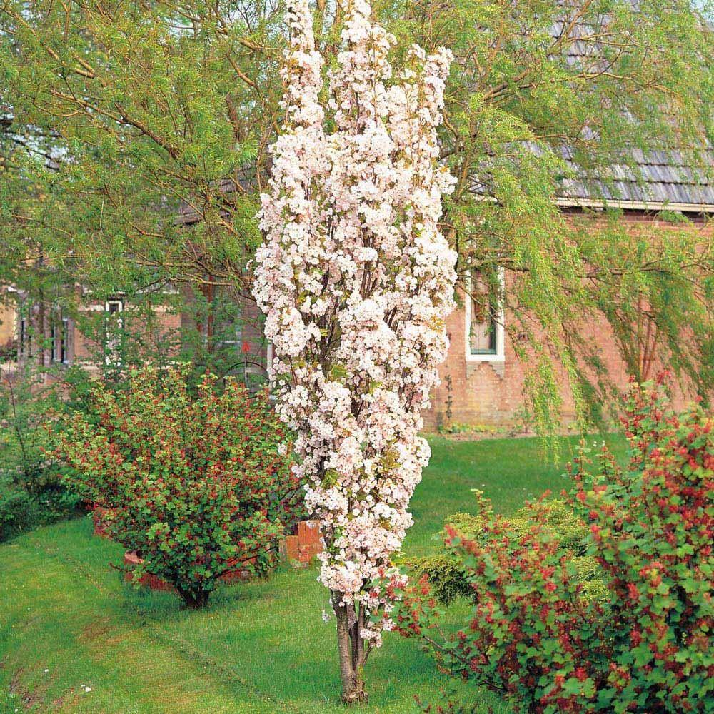 Prunus Amanogawa Japanese Flowering Cherry Tree Flowering Cherry Tree Small Trees For Garden Ornamental Cherry