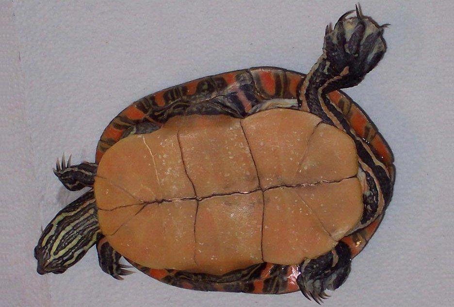 Painted turtle - Wikipedia, the free encyclopedia | Turtles