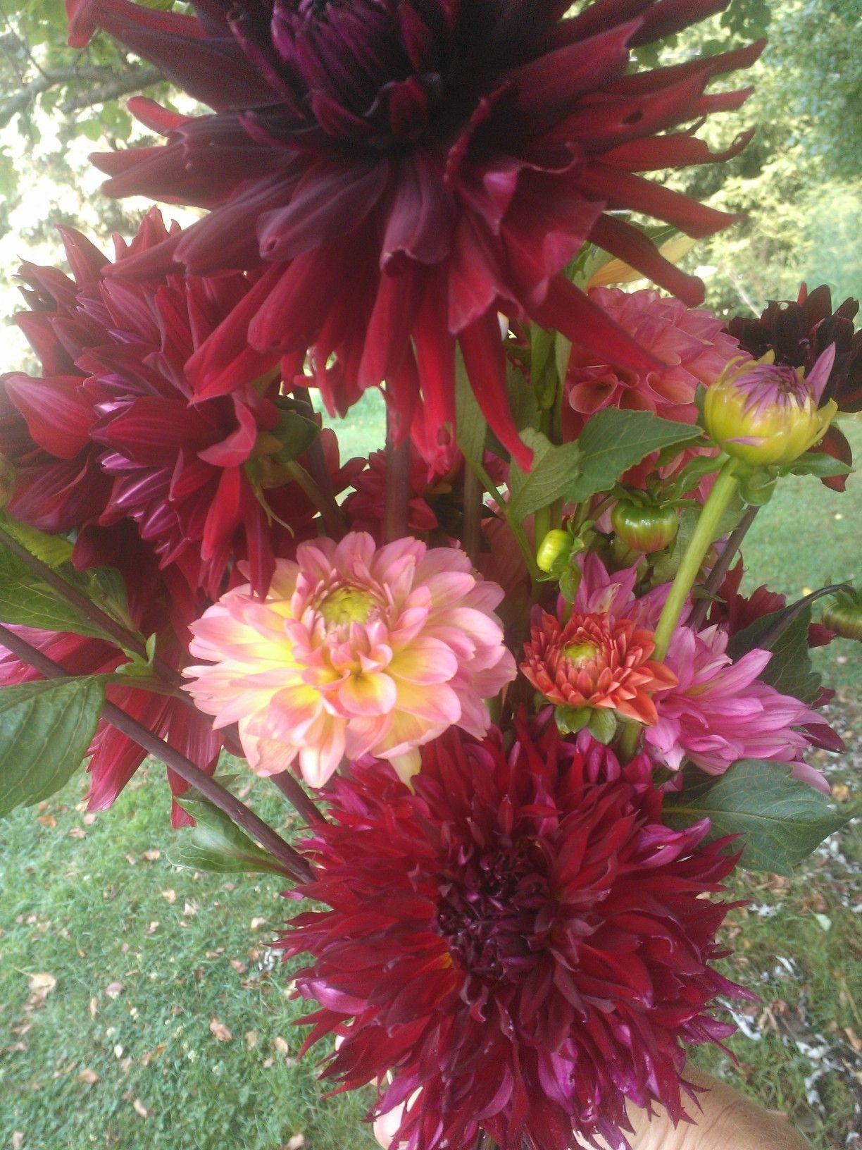 Dahlias mediumtall 12 18 burgundy mix colors 1500bunch dahlias mediumtall 12 18 burgundy mix colors izmirmasajfo